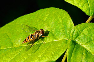 Female Marmalade hoverfly (Episyrphus balteatus) sun basking on a leaf, garden, Wiltshire, UK, spring - Nick Upton