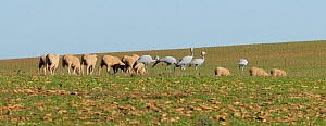 Blue Cranes (Grus paradisea / Anthropoides paradiseus) feeding beside flock of sheep, The Overberg, Western Cape, South Africa. Vulnerable species. - Tony Phelps