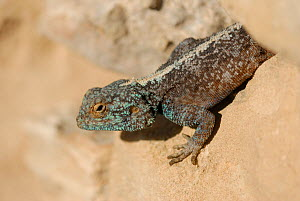 Southern Rock Agama (Agama atra) male basking on wall, DeHoop NR, Western Cape, South Africa  -  Tony Phelps