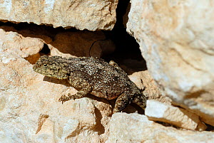 Southern Rock Agama (Agama atra) female basking on wall, DeHoop NR, Western Cape, South Africa  -  Tony Phelps
