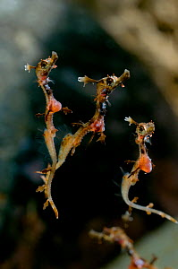 Weedy sea dragons (Phyllopteryx taeniolatus) babies, with yolk sacs still visible, wild-caught but filmed in captive conditions under licence, from the coast around south Australia  -  Warwick Sloss