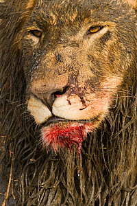 African lion {Panthera leo} male covered in mud and blood after feeding on a hippo kill, Katavi NP, Tanzania.  -  Warwick Sloss