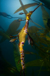 Eggs attached to the underbelly of the male Weedy sea dragon (Phyllopteryx taeniolatus) wild-caught but filmed in captive conditions under licence, from the coast around south Australia  -  Warwick Sloss