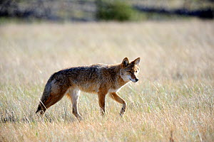 Coyote (Canis latrans) Jasper National Park, Rocky Mountains, Alberta, Canada - Eric Baccega