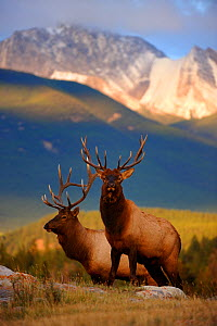 Two Elk (Cervus canadensis) bulls at sunset, Jasper National Park, Rocky Mountains, Alberta, Canada, September - Eric Baccega