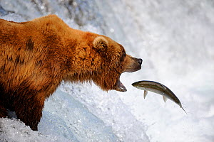 Grizzly bear (Ursus arctos horribilis) catching salmon in Brooks river, Katmai National Park, Alaska, USA, July - Eric Baccega