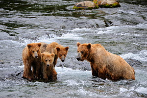 Grizzly bear (Ursus arctos horribilis) mother with three cubs (18 months) fishing in Brooks river, Katmai National Park, Alaska, USA, July - Eric Baccega