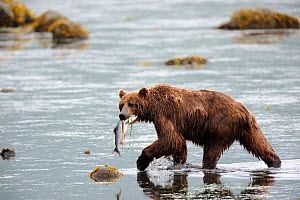 Kodiak brown bear (Ursus arctos middendorffi) carrying Salmon in mouth, Kodiak Island, Alaska, USA, July - Eric Baccega