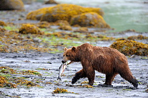Kodiak brown bear (Ursus arctos middendorffi) carrying Salmon, Kodiak Island, Alaska, USA, July - Eric Baccega