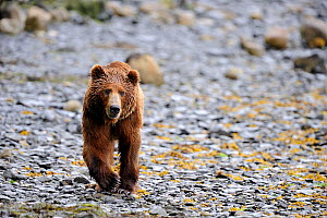 Male Kodiak brown bear (Ursus arctos middendorffi) walking along beach, Kodiak Island, Alaska, USA, July - Eric Baccega
