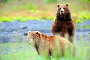 Two Kodiak brown bears (Ursus arctos middendorffi) one standing on hind legs, Kodiak Island Alaska, USA, July - Eric Baccega