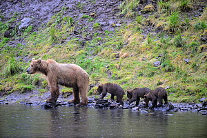 Kodiak brown bear (Ursus arctos middendorffi) mother and three spring cubs at waters edge, Kodiak Island, Alaska, USA, July - Eric Baccega