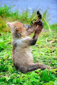 Young female Kodiak brown bear (Ursus arctos middendorffi) 18 months, playing with plant vegetation, Kodiak Island, Alaska, USA, July - Eric Baccega