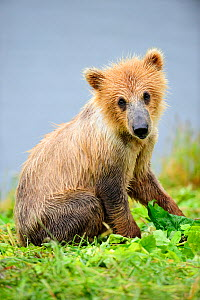 Young female Kodiak brown bear (Ursus arctos middendorffi) 18 months old, sitting, Kodiak Island Alaska, USA, July - Eric Baccega