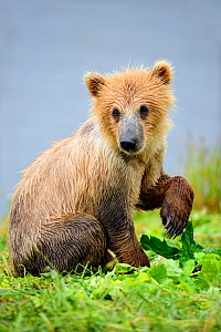 Young female Kodiak brown bear (Ursus arctos middendorffi) 18 months old, sitting with paw lifted, Kodiak Island Alaska, USA, July - Eric Baccega