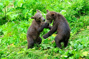 Two Kodiak brown bear (Ursus arctos middendorffi) spring cubs play fighting, Kodiak Island, Alaska, USA, July - Eric Baccega
