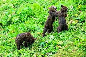 Three Kodiak brown bear (Ursus arctos middendorffi) spring cubs, two play fighting, Kodiak Island, Alaska, USA, July - Eric Baccega