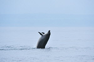 Bottlenosed dolphin (Tursiops truncatus) breaching, Moray Firth, Nr Inverness, Scotland, May 2008  -  Wild Wonders of Europe / Campbell