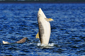 Juvenile Bottlenosed dolphins (Tursiops truncatus) playing, one leaping out of water, Moray Firth, Nr Inverness, Scotland, June 2008  -  Wild Wonders of Europe / Campbell