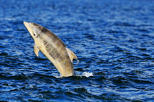 Juvenile Bottlenosed dolphins (Tursiops truncatus) jumping, Moray Firth, Nr Inverness, Scotland, June 2008  -  Wild Wonders of Europe / Campbell