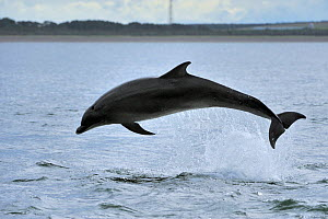 Bottlenosed dolphin (Tursiops truncatus) jumping, Moray Firth, Nr Inverness, Scotland, June 2008  -  Wild Wonders of Europe / Campbell