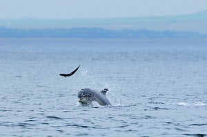 Bottlenosed dolphin (Tursiops truncatus) throwing Salmon into the air, Moray Firth, Nr Inverness, Scotland, July 2008  -  Wild Wonders of Europe / Campbell