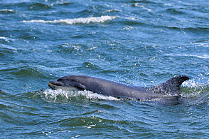 Bottlenosed dolphin (Tursiops truncatus) surfacing, Moray Firth, Nr Inverness, Scotland, April 2009  -  Wild Wonders of Europe / Campbell