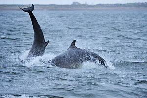 Two Bottlenosed dolphins (Tursiops truncatus) breaching, Moray Firth, Nr Inverness, Scotland, April 2009  -  Wild Wonders of Europe / Campbell