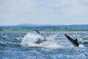 Bottlenosed dolphins (Tursiops truncatus) breaching, Moray Firth, Nr Inverness, Scotland, May 2009  -  Wild Wonders of Europe / Campbell