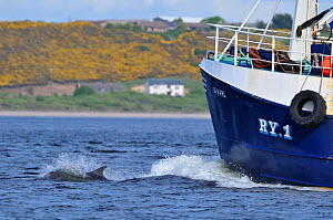 Bottlenosed dolphin (Tursiops truncatus) bow riding fishing boat, Moray Firth, Nr Inverness, Scotland, May 2009  -  Wild Wonders of Europe / Campbell