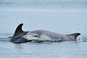 Female Bottlenosed dolphin (Tursiops truncatus) with calf surfacing, Moray Firth, Nr Inverness, Scotland, May 2009  -  Wild Wonders of Europe / Campbell