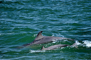 Two Bottlenosed dolphins (Tursiops truncatus) surfacing, Moray Firth, Nr Inverness, Scotland, May 2009  -  Wild Wonders of Europe / Campbell
