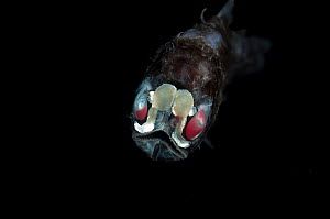 Head-on view of Spothead lanternfish {Diaphus metopocampus} from between 500 and 800m, Mid-Atlantic Ridge, North Atlantic Ocean  -  David Shale