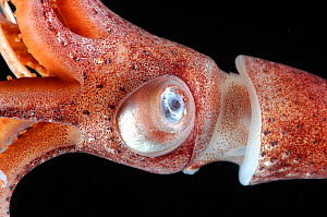 Close-up of Deepsea squid (Histioteuthis sp) showing eye, from between 188m/617ft and 507m/1,663ft depth, night, Mid-Atlantic Ridge, North Atlantic Ocean - David Shale