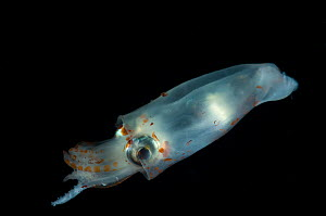 Juvenile squid {Teuthoidea} from the Mid-Atlantic Ridge, North Atlantic Ocean  -  David Shale