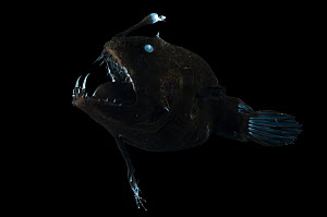 Angler fish {Linophryne sp} from the Mid-Atlantic Ridge, North Atlantic Ocean  -  David Shale