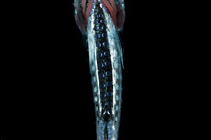 Ventral view of Pearlfish {Maurolicus sp} showing photophores, Mid-Atlantic Ridge, North Atlantic Ocean  -  David Shale