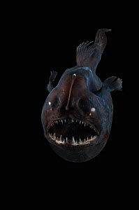 Angler fish (Melanocetus murrayi) Mid-Atlantic Ridge, North Atlantic Ocean - David Shale