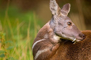 Siberian musk deer (Moschus moschiferus) male with tusks grooming, captive, Midlothian deer enclosure, UK, vulnerable species  -  Mark Bowler,Mark  Bowler
