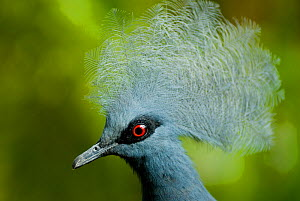 Victoria crowned pigeon (Goura victoria) head portrait, vulnerable species, captive  -  Mark  Bowler