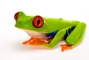 Red eyed tree frog (Agalychnis callidryas) Captive - Mark  Bowler