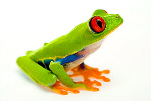 Red eyed tree frog (Agalychnis callidryas) sitting - Mark  Bowler