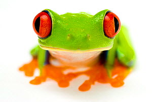 Red eyed tree frog (Agalychnis callidryas) close-up of head Captive - Mark  Bowler