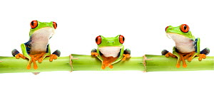 Red eyed tree frog (Agalychnis callidryas) sitting on bamboo, digital composite Captive - Mark  Bowler
