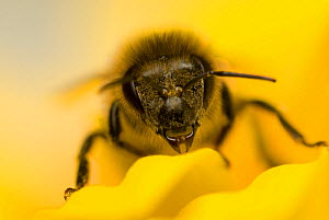 Close-up of Honey bee (Apis mellifera) on flower - Mark  Bowler