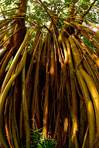 Looking up the stilt roots of a Fig tree (Ficus sp), Botanical Gardens, Entebbe, Uganda, July 2006 - Mark  Bowler