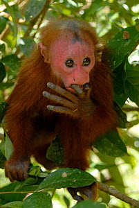 Peruvian red uakari monkey (Cacajao calvus ucayalii) baby with fingers in mouth, captive, vulnerable species  -  Mark  Bowler