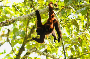 Yellow-tailed woolly monkey (Oreonax / Lagothrix flavicauda) hanging from branch carrying baby, Alto Mayo, Amazonas, Peru, critically endangered species  -  Mark  Bowler
