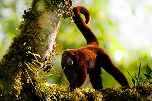 Yellow-tailed woolly monkey (Oreonax / Lagothrix flavicauda) on branch with tail in air, Alto Mayo, Amazonas, Peru, critically endangered species  -  Mark  Bowler