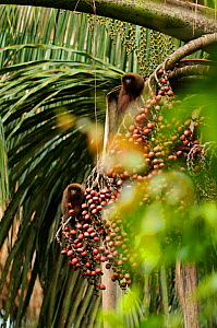 Dusky titi monkey {Callicebus moloch} feeding on rainforest fruits, Yavari River, Amazon, Peru  -  Mark  Bowler